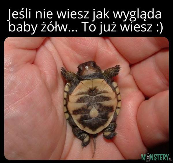 Baby żółw